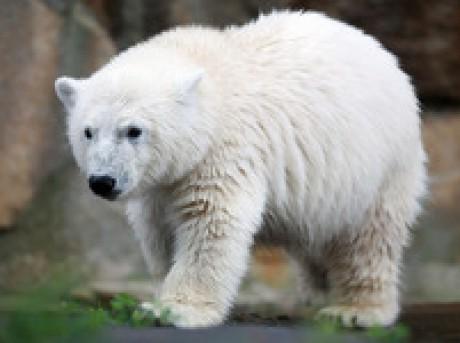 medved biely - YouTube